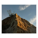 Scraggly Torrey Pine at Sunset California Coast Poster