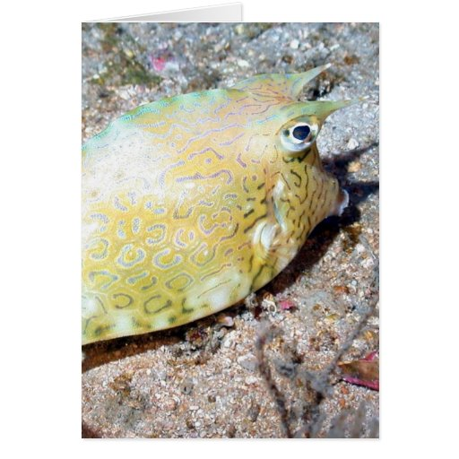 Scrawled Cowfish Cards
