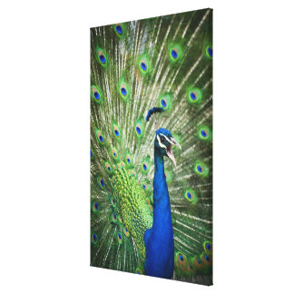 Screaming peacock canvas prints