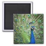 Screaming peacock refrigerator magnet
