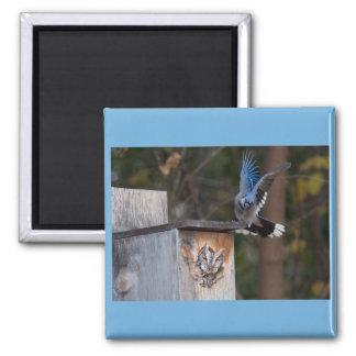 Screech-Owl Harassed by Blue Jay Fridge Magnets