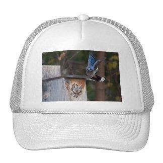 Screech-Owl Harassed by Blue Jay Hat
