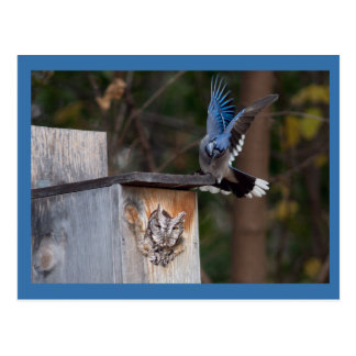 Screech-Owl Harassed by Blue Jay Postcard