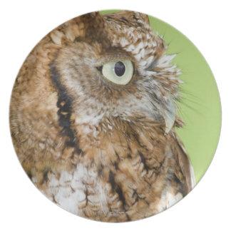 Screech owl portrait dinner plate