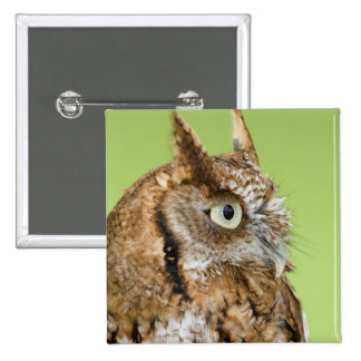Screech owl portrait pinback button