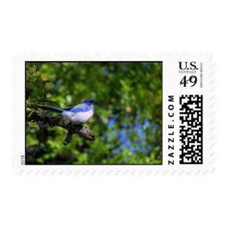 Scrub Jay Postage Stamps
