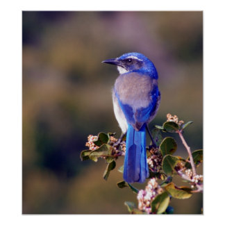 Scrub Jay Posters