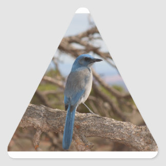 Scrub Jay Triangle Sticker