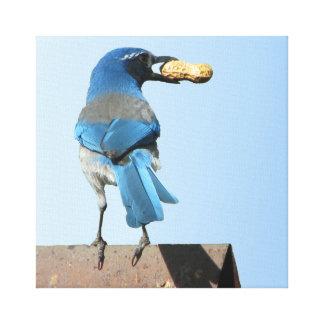 Scrub Jay w/ Peanut - Bird Stretched Canvas Print