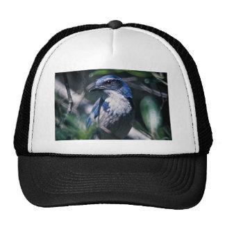 Scrub Jay, Western Hat