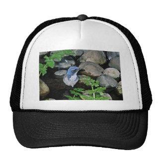Scrub Jay, Western Mesh Hat