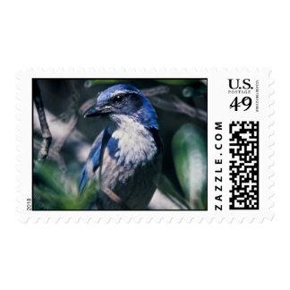 Scrub Jay, Western Stamps