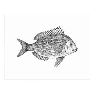 Scup Fish Graphic Postcard