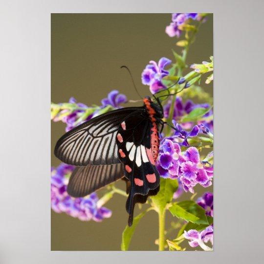 SE Asia, Tailandia, Doi Inthanon, Papilio Póster