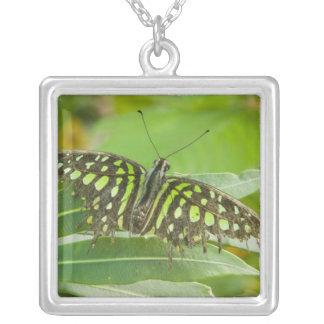 SE Asia, Tailandia, mariposa atada de Jay Collar Plateado