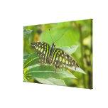 SE Asia, Tailandia, mariposa atada de Jay Impresiones En Lienzo Estiradas