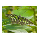 SE Asia, Tailandia, mariposa atada de Jay Tarjetas Postales