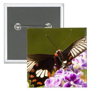 SE Asia, Thailand, Doi Inthanon, Papilio polytes 2 Button