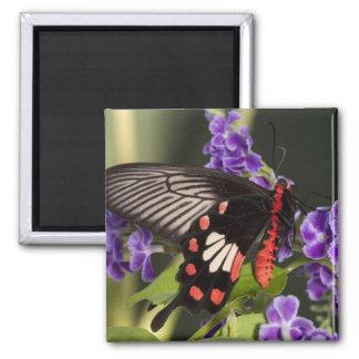 SE Asia, Thailand, Doi Inthanon, Papilio polytes 3 Magnet