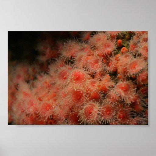 sea anemone monterey bay poster