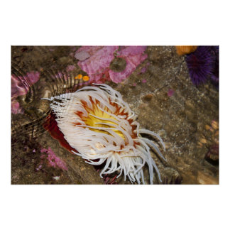 Sea Anemone Posters