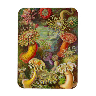 """Sea Anemones"" Vintage Illustration Rectangular Magnets"