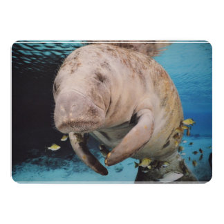 Sea Cow Swimming Card