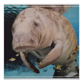 Sea Cow Swimming Posters