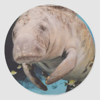 Sea Cow Swimming Round Stickers