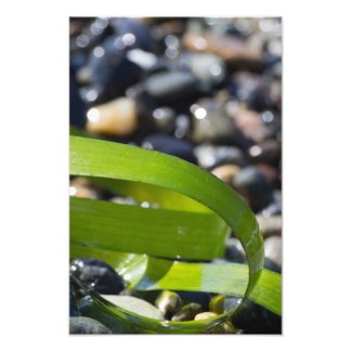 Sea Grass - Sea Weed on Beach Rocks Photo Print