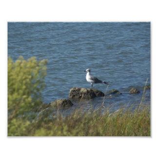 Sea Gull on rocks Photographic Print