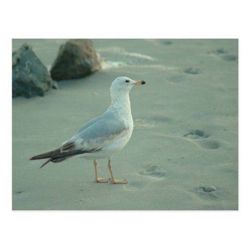 Sea Gull / Postcard