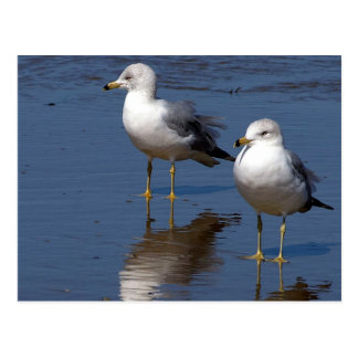 Sea Gull Reflections Postcard