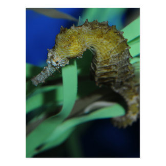 Sea Horse Post Cards