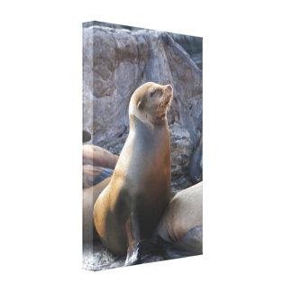 Sea Lion Stretched Canvas Prints