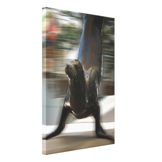 Sea Lion Doing Trick at Kansas City Zoo Stretched Canvas Print