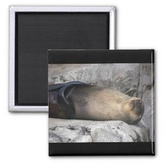 Sea Lion Dreaming Magnet