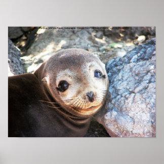 Sea lion pup, Isla Las Plazas, Galapagos Poster