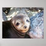 Sea lion pup, Isla Las Plazas, Galapagos Print