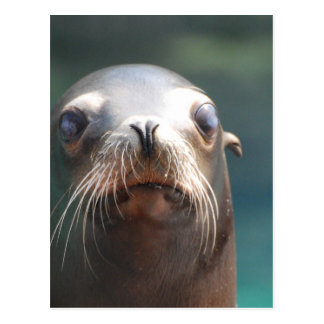 Sea Lion with Whiskers Postcard