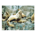 Sea Lions at Haulout Post Cards