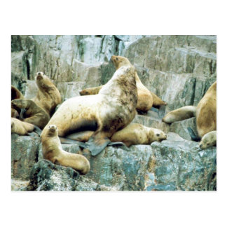 Sea Lions at Haulout Postcard