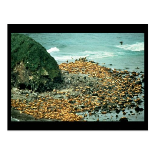 Sea Lions at Haulout Postcards