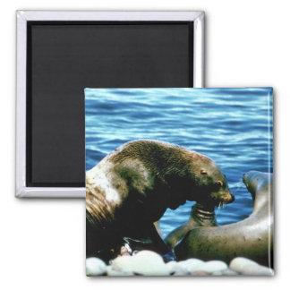Sea Lions Refrigerator Magnets