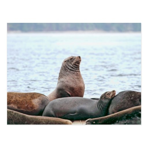 Sea Lions Photo Postcard