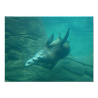 Sea Lions Photo Poster