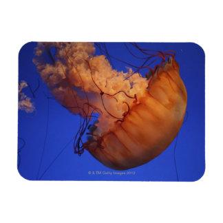 Sea nettle jellyfish magnet