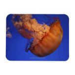 Sea nettle jellyfish rectangular magnet