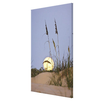 Sea Oats Uniola paniculata) growing on sand Canvas Print