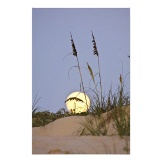 Sea Oats Uniola paniculata) growing on sand Photo Print